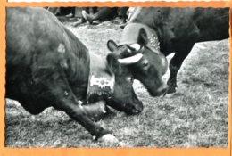 LOL391, Combat De Reines En Valais, Vaches D'Hérens, Photo Raymond Schmid, 308, Non Circulée - VS Valais