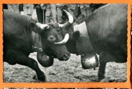 LOL399, Combat De Reines En Valais, Vaches D'Hérens, Photo Raymond Schmid, 309, Non Circulée - VS Valais