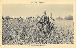 Sénégal - Bignona - Les Femmes Récoltent Le Riz - Photo P.E.J. Casamance - Carte Non Circulée - Afrique
