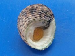 Monodonta Labio Philippines 27,2mm GEM Avec Opercule N 1 - Coquillages