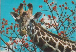 Kenia  East Afrika - Wildlife - Giraffe - Nice Stamp - Kenia