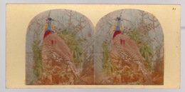 Stereoscopische Kaart.  :The Argus Pheasant - Cartes Stéréoscopiques