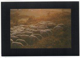 CPM    IN EDITE  07   PLATEAU DES GRAS       TROUPEAU BREBIS AU SOLEIL LEVANT - Elevage