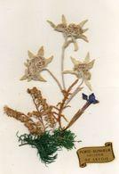 - Belle FANTAISIE  - Fleurs D'édelweis Séchées Collées, Souvenir De Savoie     -19097- - A Systèmes