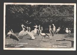 Rhenen - Ouwehands Dierenpark Op De Grebbeberg - Bij De Gezelschapsvijver - 1951 - Pelikaan / Pelican - Rhenen