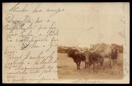 Postal Fotografico CARROÇA De BOIS, Circulado De Estremoz Para Lisboa Em 1904. Old RPPC Ox Cart / Bullock PORTUGAL - Evora