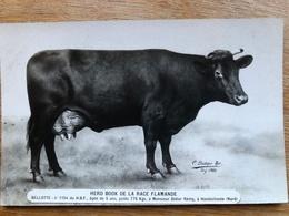 Très Rare CPA HONDSCHOOTE HERD BOOK DE LA RACE FLAMANDE N° 1154 (Vache Primée) - Hondshoote