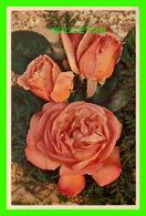 FLEURS - ROSES, MRS SAM McGREDY, HYBRID TEA ROSE - J. ARTHUR DIXON LTD - - Fleurs