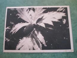 Fruit De L'arbre à Pain  (publicité Au Verso) - Wallis And Futuna