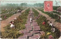 Picking And Drying Raisin Grapes, California Near Fresno - & Farming - Fresno