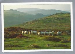 UK.- MOORLAND SHEEP.  Schapen. Ongelopen. - Dieren