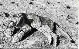 JEUNE LION - Lions