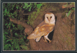 BIRDS - J ARTHUR DIXON - BARN OWL - PGR 00276 - Birds