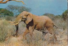 ELEFANTE AFRICANO GIOVANE  VG  AUTENTICA 100% - Elefanti