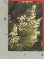 CARTOLINA NV ITALIA - ALBERI - Frassino Da Manna - Fraxinus Ornus - 10 X 15 - Alberi
