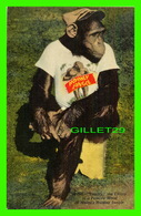 SINGES - TOMMY THE CHIMP IN A PENSIVE MOOD AT MIAMI MONKEY JUNGLE - GULF STREAM CARD & DISTRIBUTING CO - - Singes