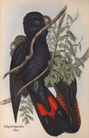 CARTE THÈME OISEAUX  D'AUSTRALIE J.GOULD CALYPTORHYNTUS NASO - Birds