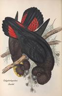 CARTE THÈME OISEAUX  D'AUSTRALIE J.GOULD CALYPTORHYNTUS LEACHIL - Birds