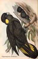 CARTE THÈME OISEAUX  D'AUSTRALIE J.GOULD CALYPTORHYNTUS XANTHONOTUS - Birds