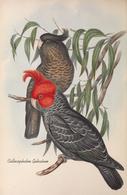 CARTE THÈME OISEAUX  D'AUSTRALIE J.GOULD COLLOCEPHALON GALEATUM - Birds