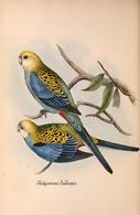 CARTE THÈME OISEAUX  D'AUSTRALIE J.GOULD PLATYCERCUS PALLICEPS - Birds