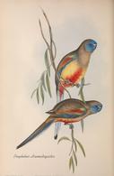 CARTE THÈME OISEAUX  D'AUSTRALIE J.GOULD PSEPHOTUS HAEMATOGASTER - Birds