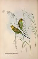 CARTE THÈME OISEAUX  D'AUSTRALIE J.GOULD MELOPSITTACUS UNDULATUS - Birds