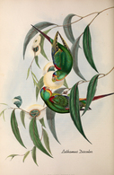CARTE THÈME OISEAUX  D'AUSTRALIE J.GOULD LATHAMUS DISCOLOR - Birds