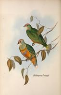 CARTE THÈME OISEAUX  D'AUSTRALIE J.GOULD PTILINOPUS EWINGIL - Birds