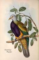 CARTE THÈME OISEAUX  D'AUSTRALIE J.GOULD CARPOPHAGA MAGNIFICA - Birds