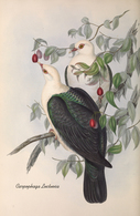 CARTE THÈME OISEAUX  D'AUSTRALIE J.GOULD CARPOPHAGA LUCTUOSA - Birds
