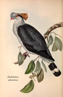 CARTE THÈME OISEAUX  D'AUSTRALIE J.GOULD LOPHOLAIMUS ANTARCTICUS - Birds