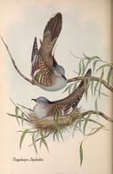 CARTE THÈME OISEAUX  D'AUSTRALIE J.GOULD OCYPHAPS LOPHOTES - Birds