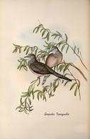 CARTE THÈME OISEAUX  D'AUSTRALIE J.GOULD GEOPELIA  TRANGUILLA - Birds