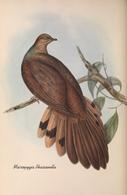 CARTE THÈME OISEAUX  D'AUSTRALIE J.GOULD MACROPYGIA PHASIANELLA - Birds