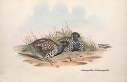 CARTE THÈME OISEAUX  D'AUSTRALIE J.GOULD HEMIPODIUS MALANOGASTER - Birds