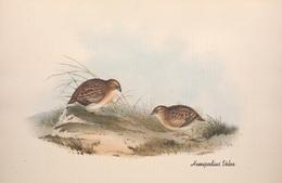 CARTE THÈME OISEAUX  D'AUSTRALIE J.GOULD HEMIPODIUS VELOX - Birds