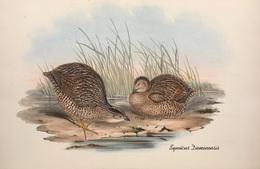 CARTE THÈME OISEAUX  D'AUSTRALIE J.GOULD SYNOÏCUS DIEMENENSIS - Birds