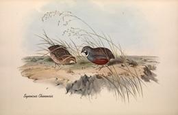 CARTE THÈME OISEAUX  D'AUSTRALIE J.GOULD SYNOÏCUS CHINENSIS - Birds