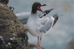 Swallow Tailed Gull Ecuador Galapagos Postcard Used Good Condition - Vögel