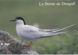 La Sterne De Dougall - Oiseaux De  Bretagne - - Bretagne