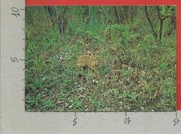 CARTOLINA NV ITALIA - CIRCEO - AZIENDA DI STATO FORESTE DEMANIALI - Lepre Comune - Lepus Europaeus - 10 X 15 - Animali