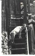 CHEVRE MONTANT L'ESCALIER -  Chèvre - Ziege Bei Der Alphütte - Alpage Montagne - Gyger Phot., Adelboden No 3990 - Animaux & Faune