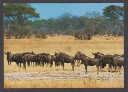 89847/ FAUNE D'AFRIQUE, Gnou Bleu, Blue Wildbeest, Afrique Du Sud, Parc National Kruger - Autres