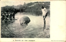 HIPPOPOTAMUS, Nilpferd - Sent From Britsh Southafrica To Germany About 1907 - Sin Clasificación