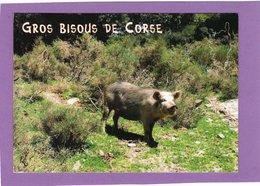20 2A 2B GROS BISOUS DE CORSE  Beau Cochon Corse Dans La Nature - Cochons