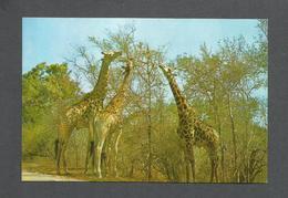 ANIMAUX - ANIMALS - GIRAFFE FEEDING - PHOTO DAVID TRICKETT - Girafes