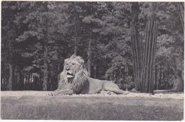 MUSEUM NATIONAL D'HISTOIRE NATURELLE - PARC ZOOLOGIQUE DU BOIS DE VINCENNES PARIS / LION - Lions