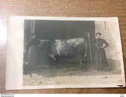 Photo Carte Originale  Vache élevage Bœuf Ferme - Elevage