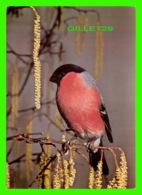OISEAUX - BIRDS - BULLFINCH - PYRRHULA PYRRHULA - ANDRÉ FATRAS - - Oiseaux